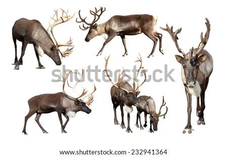 Set of few reindeer (Rangifer tarandus). Isolated over white background Royalty-Free Stock Photo #232941364