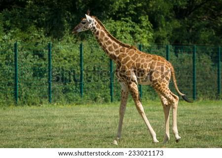 Giraffe. #233021173