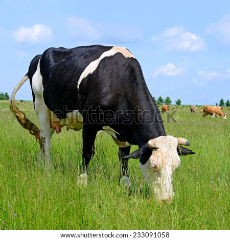 Cow on a summer pasture #233091058