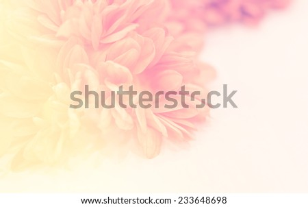 vintage color Chrysanthemums in soft color and blur style for background #233648698