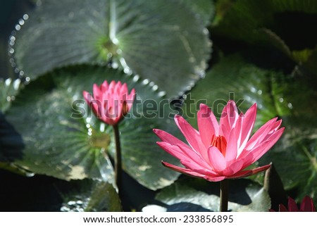 Pink lotus blossoms or water lily flowers blooming on pond #233856895