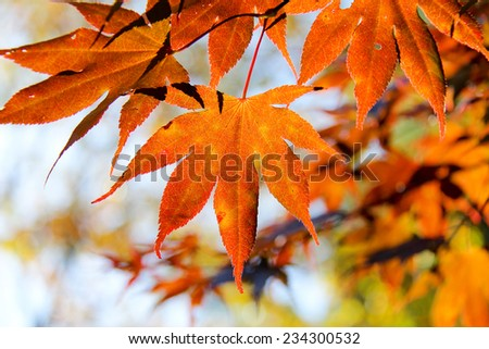 Japanese Maple leaf in Autumn  #234300532
