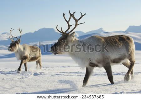 Reindeers in natural environment, Tromso region, Northern Norway. Royalty-Free Stock Photo #234537685