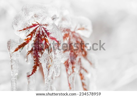 Japanese maple tree leaves covered in ice and icicles during winter Royalty-Free Stock Photo #234578959