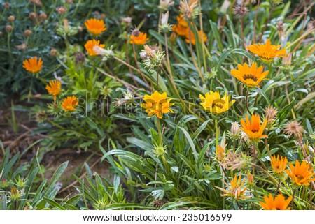 Yellow and orange garden flowers. Nature background #235016599