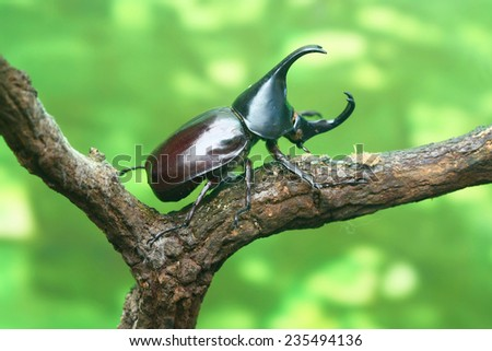 rhinoceros beetle in forest,, Set of realistic colorful tropical beetle and insect, zoology,wild ,entomology, one alive exotic butterfly with beautiful wing collection ,insect animal stuff icon  Royalty-Free Stock Photo #235494136