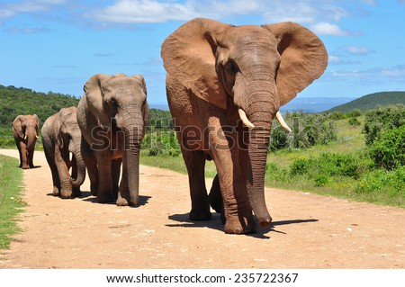 Herd of African Elephants walking Royalty-Free Stock Photo #235722367