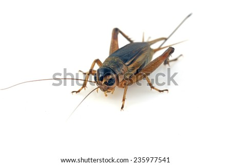 cricket in a white background, closeup of photo