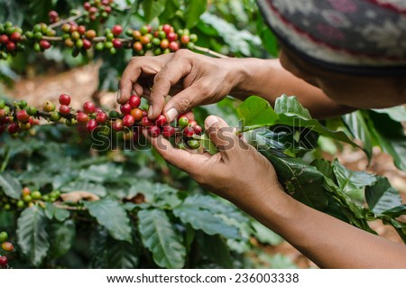 arabica coffee berries with agriculturist hands #236003338