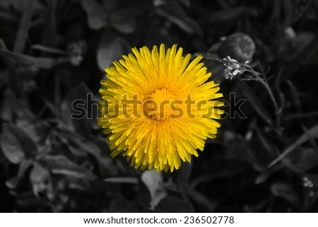 Detail Dandelion yellow flower with background converted or processed in black and white
