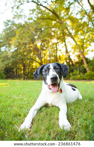 Silly pointer mix dog plays in the grass #236861476