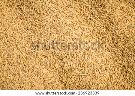 Paddy or rice in the husks #236923339