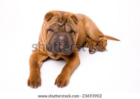 sharpei puppy isolated on white background #23693902
