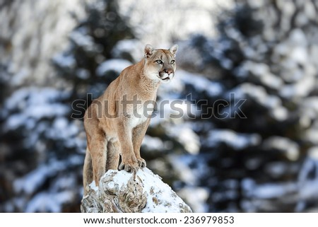 Portrait of a cougar, mountain lion, puma, panther, striking pose on a fallen tree, Winter scene in the woods, wildlife America