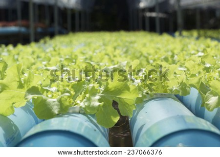 Organic hydroponic vegetables is planted in a garden #237066376