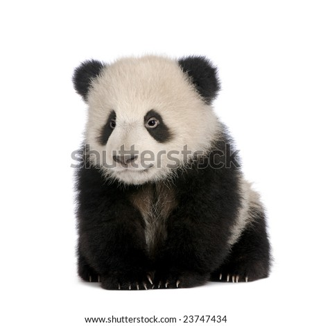 Giant Panda  (6 months)  - Ailuropoda melanoleuca in front of a white background #23747434