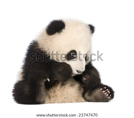 Giant Panda  (6 months)  - Ailuropoda melanoleuca in front of a white background #23747470