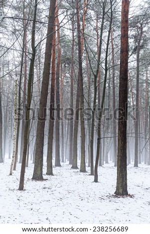 Winter landscape of pine forest with fog #238256689