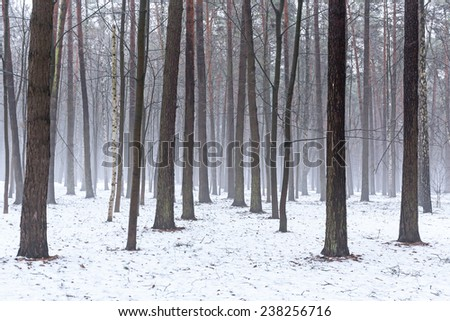 Misty winter woods in forest at december's morning #238256716