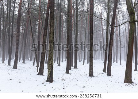 Misty trees in forest on a foggy winter morning  #238256731