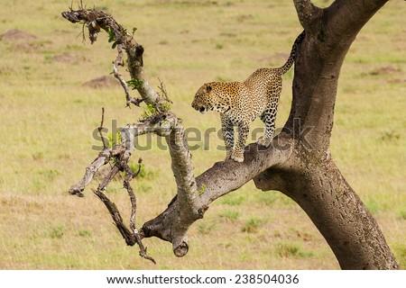 Leopard in a tree #238504036