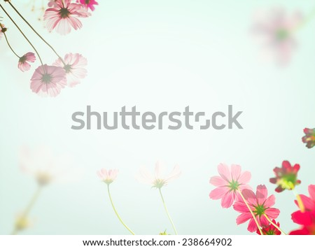 Pink cosmos flowers under sun light with color filter. Soft background. Holiday or Valentine's day concept.