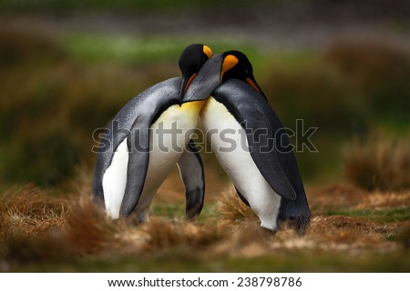 King penguin couple cuddling in wild nature with green background.