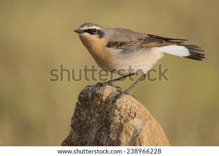 Wheatear (Oenanthe oenanthe), perched on a stone, #238966228