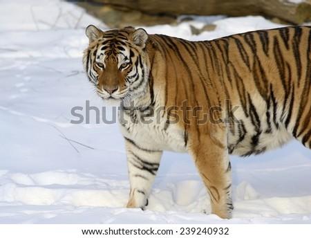 Siberian Tiger #239240932