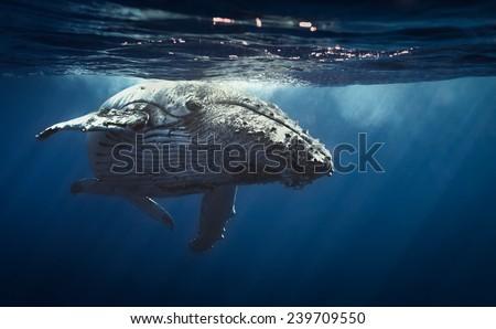 Queen whale.