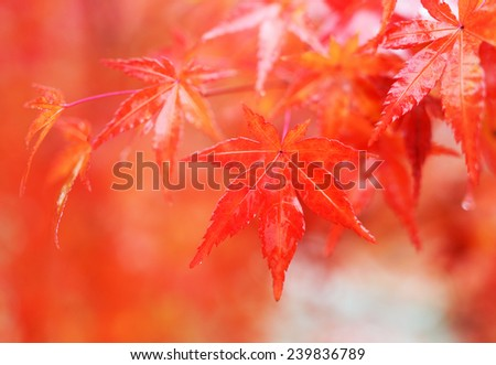 Autumn Colors in Japan/Beautiful autumn leaves #239836789