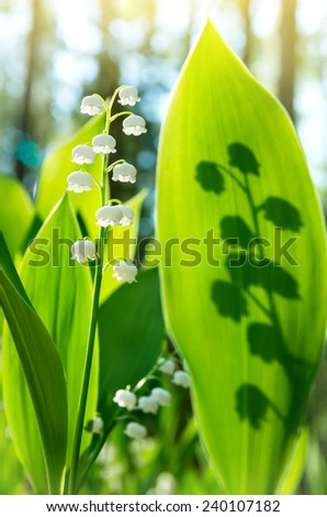 Blossoming lilies of the valley in a sunny forest #240107182