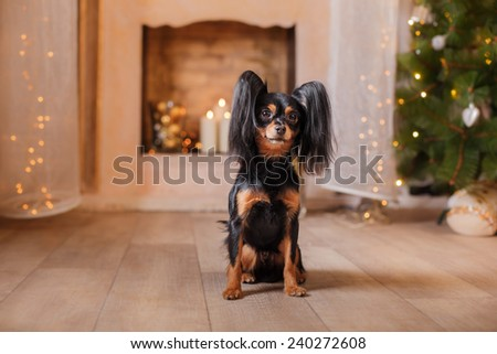 Russian Toy Terrier, Christmas and New Year, studio portrait dog on a color background #240272608