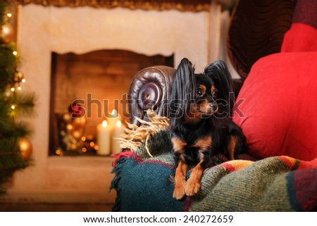 Russian Toy Terrier, Christmas and New Year, studio portrait dog on a color background #240272659