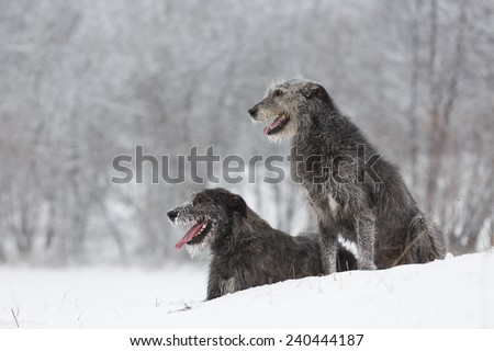 Irish Wolfhound dogs sitting at winter forest. Irish wolfhound dogs posing and looking forward at snowy field. Irish wolfhound dogs hunting and waiting for prey at winter field during snow fall..  #240444187