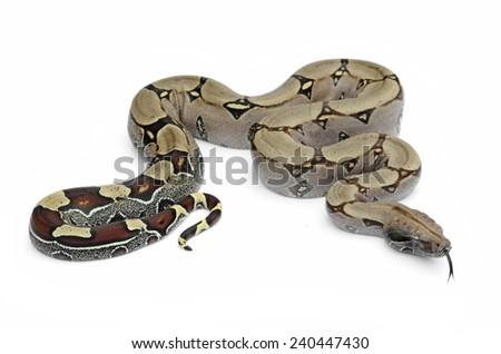 Boa constrictor (Boa constrictor) #240447430