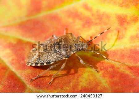 Halyomorpha Halys. Stink bug. Bug brown. Brown marble.