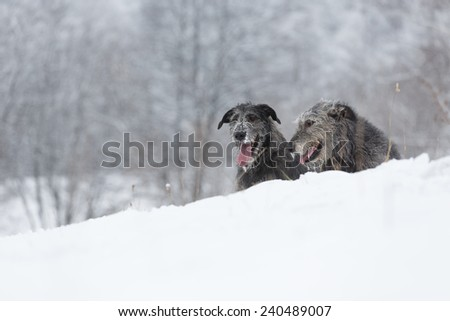 Irish Wolfhound dogs sitting at winter forest. Irish wolfhound dogs posing and looking forward at snowy field. Irish wolfhound dogs hunting and waiting for prey at winter field during snow fall. #240489007