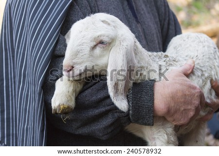 lamb with shepherd #240578932