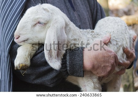 lamb with shepherd #240633865