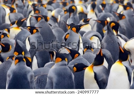King penguin colony, many birds together, in Falkland Islands.