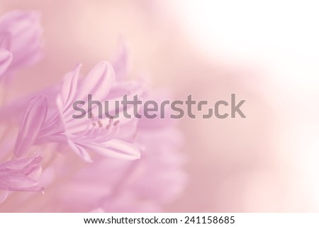 beautiful lily of nile on soft pink orange color for background #241158685