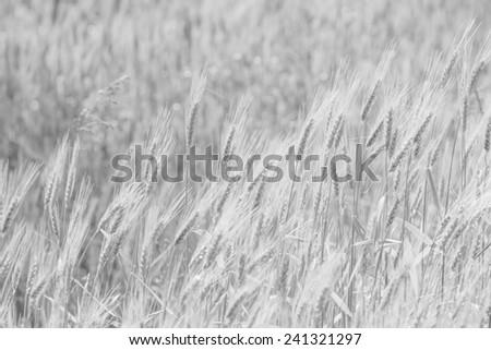 Barley Background  #241321297