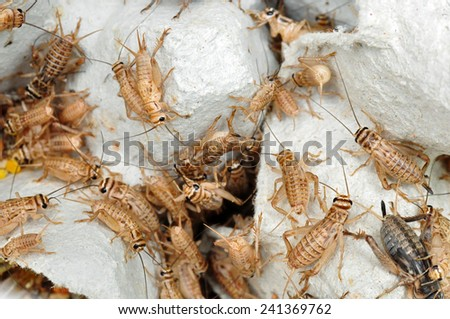 Crickets as live food for reptiles