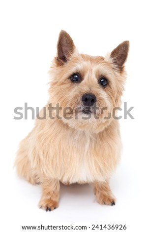Norwich terrier dog isolated on white background #241436926