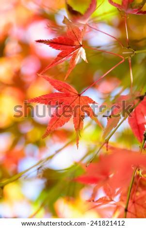 Japanese maple leaf #241821412