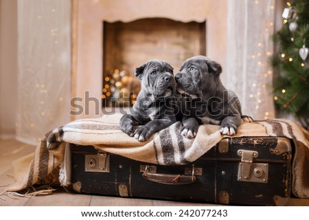 Dog breed Cane Corso puppy, portrait dog on a studio color background, Christmas and New Year #242077243