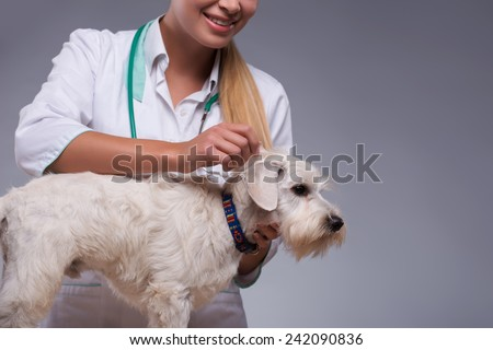 Thorough dog examination. Clopped image of a female vet examining fur of little terrier dog while standing against grey background #242090836