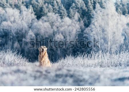 Golden Retriever sitting in frost #242805556