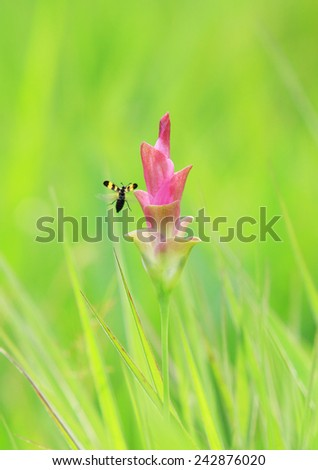Insects were flying for Flowers or Siam Tulip.Siam Tulips is in the Pa Hin Ngam National Park in the Chaiyaphum province of Thailand. #242876020